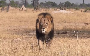 Cecil_the_lion_in__3388298b